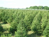 norway-spruce-06