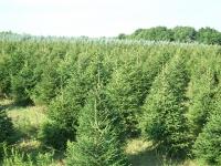 norway-spruce-06