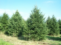 norway-spruce-07