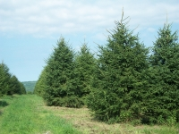 norway-spruce-08