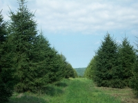 norway-spruce-09