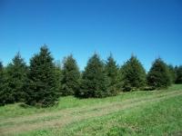 norway-spruce-10