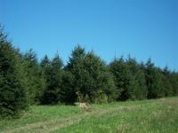 norway-spruce-11