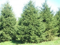 norway-spruce-12