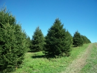 norway-spruce-13