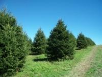 norway-spruce-13