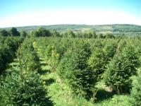 norway-spruce-14