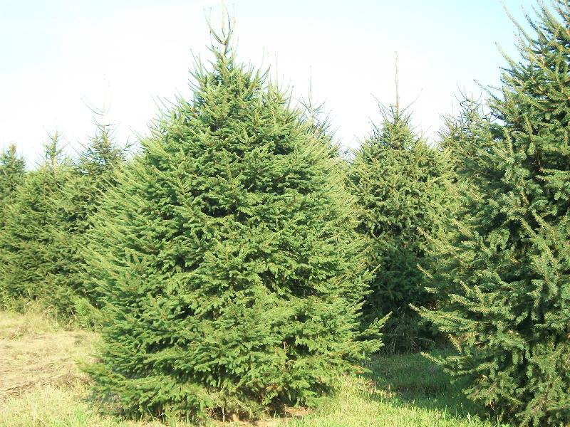norway-spruce-01