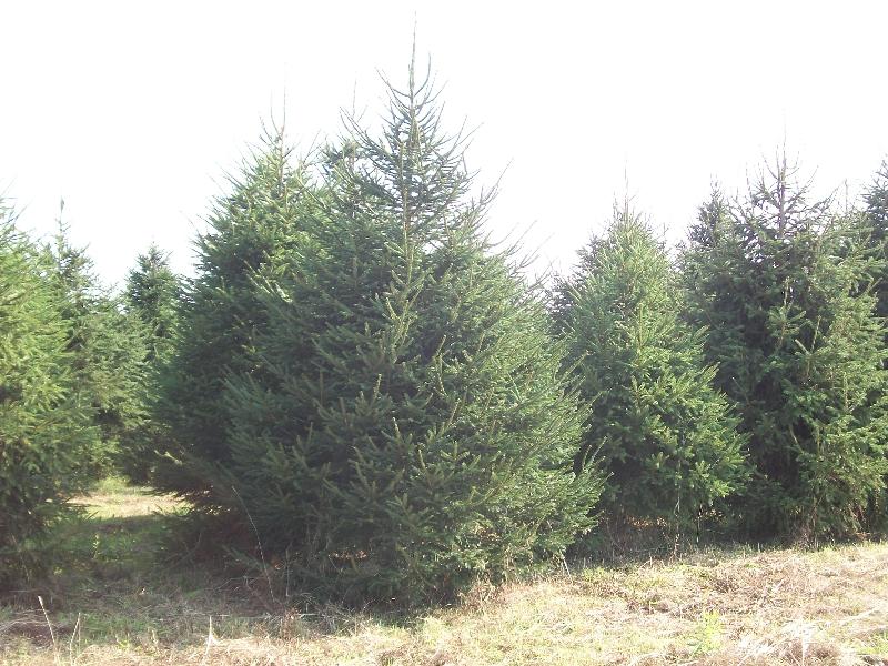 norway-spruce-03