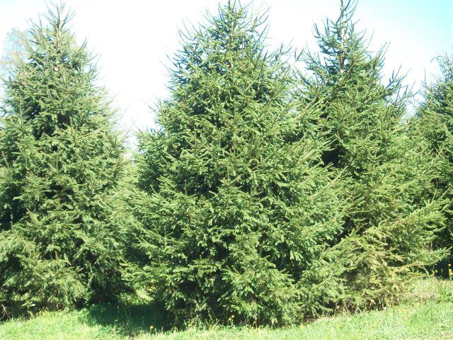 Hemlock Christmas Tree