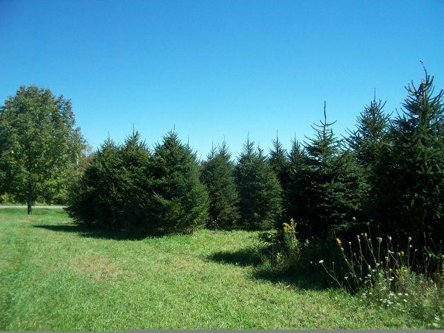 norway-spruce-15
