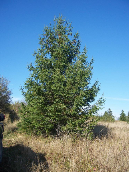 24ft-Norway-Spruce