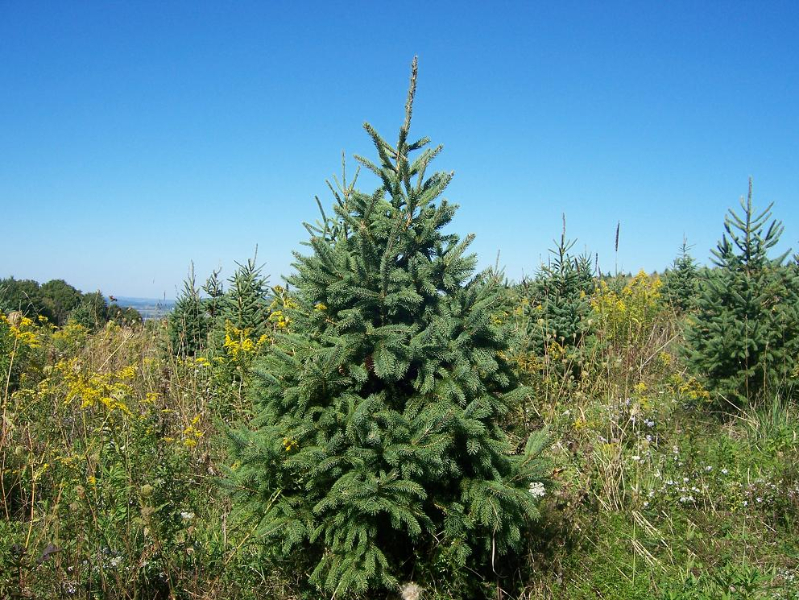 3ft-Norway-Spruce