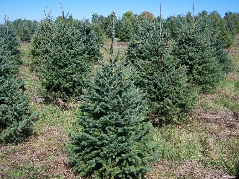 4-ft-Norway-Spruce