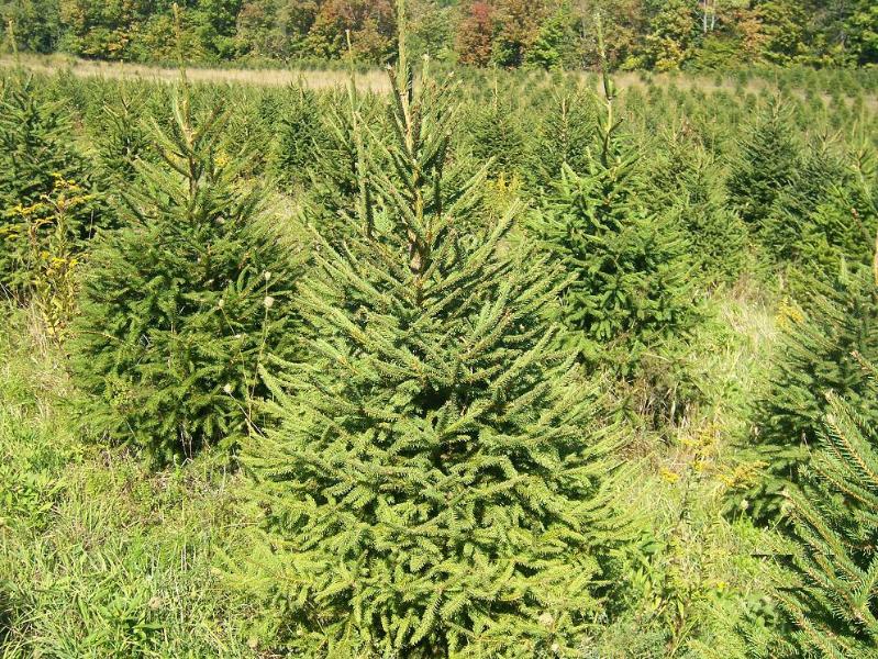Christmas Tree Farm Ny