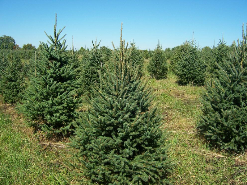 5ft-Norway-Spruce