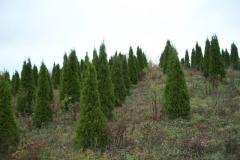 Pyramidal Arborvitae - Emerald Green