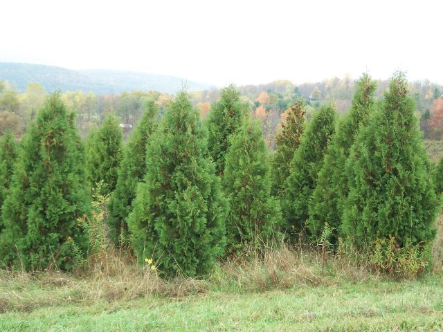 emerald green arborvitae planting instructions