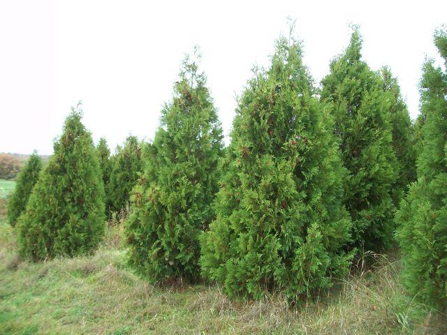 Photo Gallery Yule Tree Farms