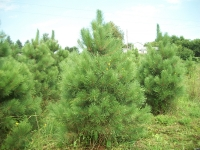 red-pine01