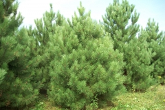Red Pine Trees - Pinus Resinosa