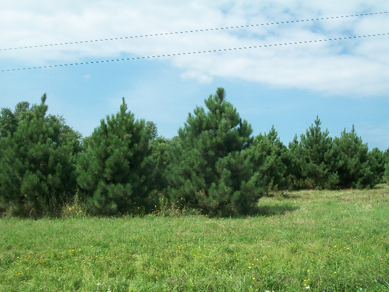 red-pine-01