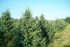Serbian Spruce - Picea Omorika