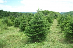 Turkish Fir Abies Bornmuelleriana