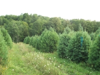 white-pine03