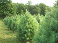 white-pine06