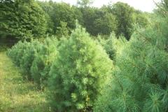 White Pine Trees - Pinus Strobus