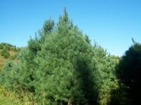 10ft-White-Pine