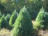 4ft-White-Pine