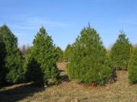 8ft-White-Pine