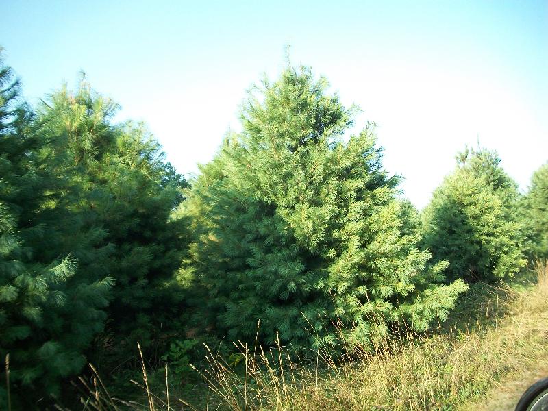 white-pine01