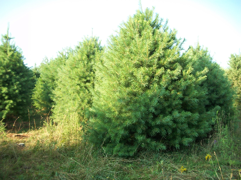 white-pine02
