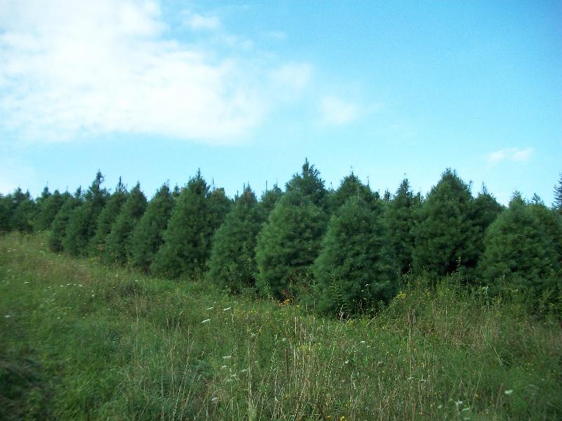 white-pine05