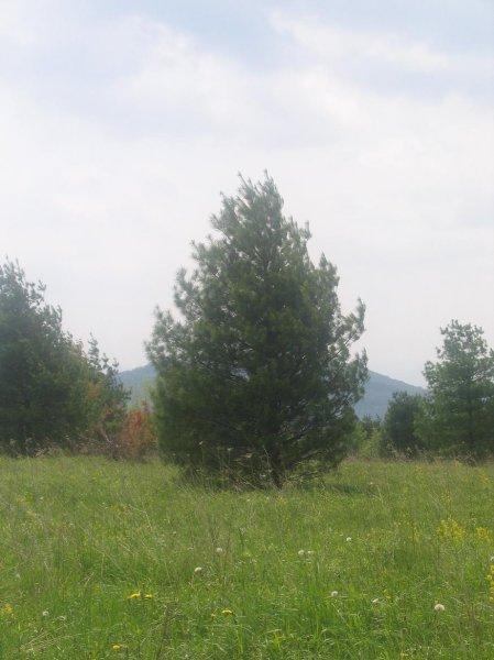 20ft-White-Pine