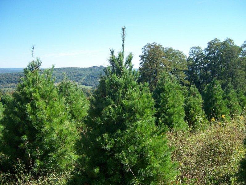 5ft-White-Pine