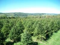 white-spruce-06