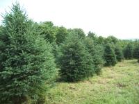 white-spruce01