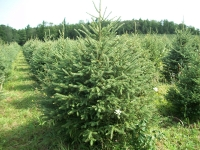 white-spruce03