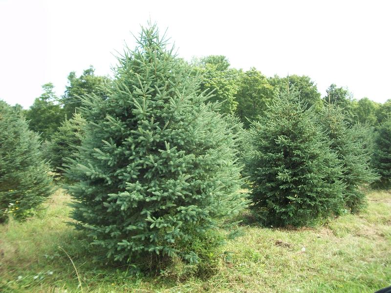 white-spruce02